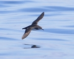 Dreaming: Manx Shearwater in full flight.