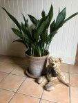 Aspidistra: Looking Good!