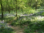 Frank's Walk: Tiptoe through the bluebells...